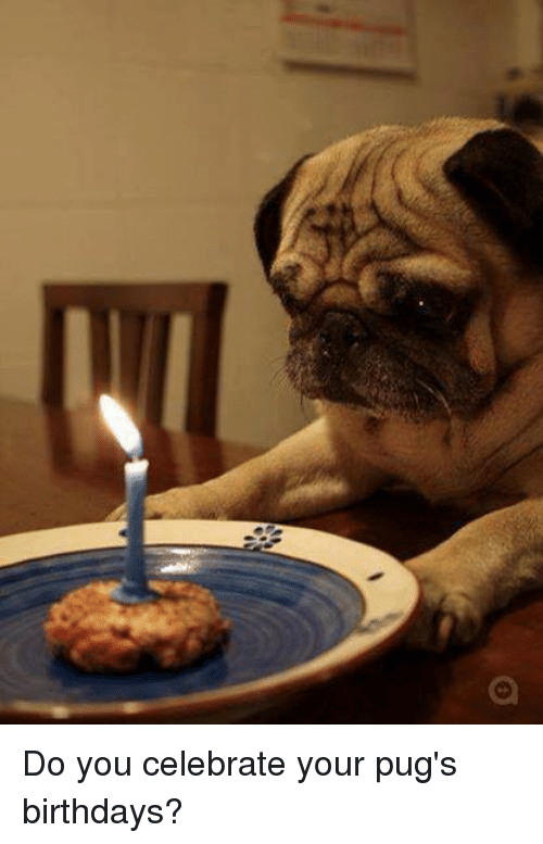 Birthday Memes And Pugs Do You Celebrate Your Birthdays