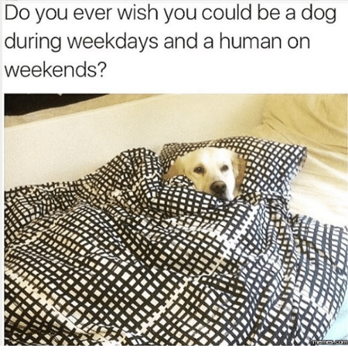 Memes, 🤖, and Weekend: Do you ever wish you could be a dog  during weekdays and a human on  weekends?  Memes COMM