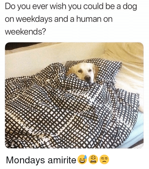 Funny, Mondays, and Amirite: Do you ever wish you could be a dog  on weekdays and a human orn  weekends? Mondays amirite😅😩😒