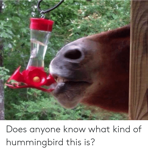 Hummingbird, Anyone Know, and What: Does anyone know what kind of hummingbird this is?