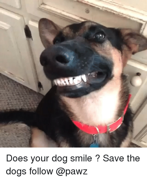 does your dog smile save the dogs follow pawz 17293522 ✅ 25 best memes about dog smiling dog smiling memes,Smiling Dog Meme