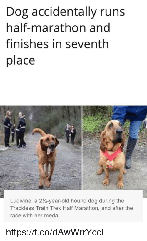 Memes, Train, and Old: Dog accidentally runs  half-marathon and  finishes in seventh  place  Ludivine, a 2%-year-old hound dog during the  Trackless Train Trek Half Marathon, and after the  race with her medal https://t.co/dAwWrrYccl
