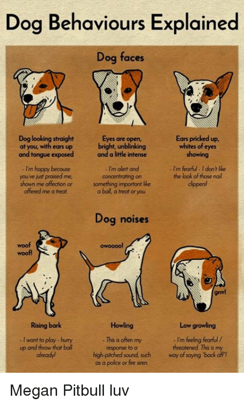 Dog Behaviours Explained Dog Faces Dog Looking Straight at You With