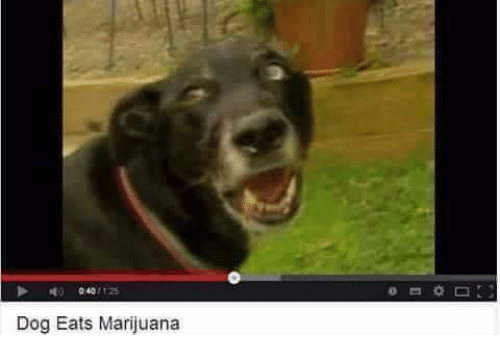dog eats marijuana 2813096 dog eats marijuana dogs meme on me me,Dank Memes Dog