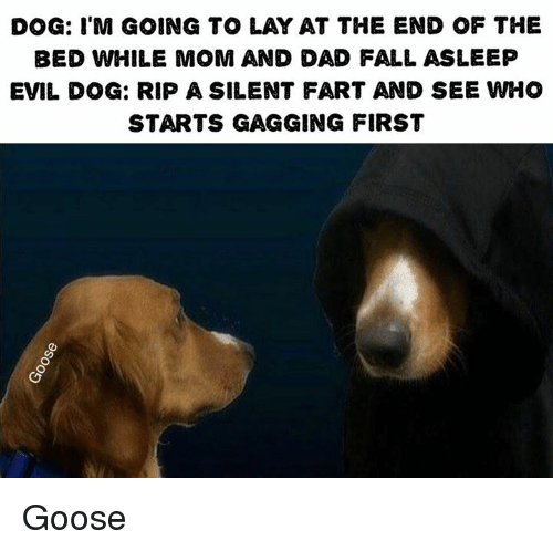 dog im going to lay at the end of the 8269362 ✅ 25 best memes about evil dog evil dog memes,Dog Dad Meme