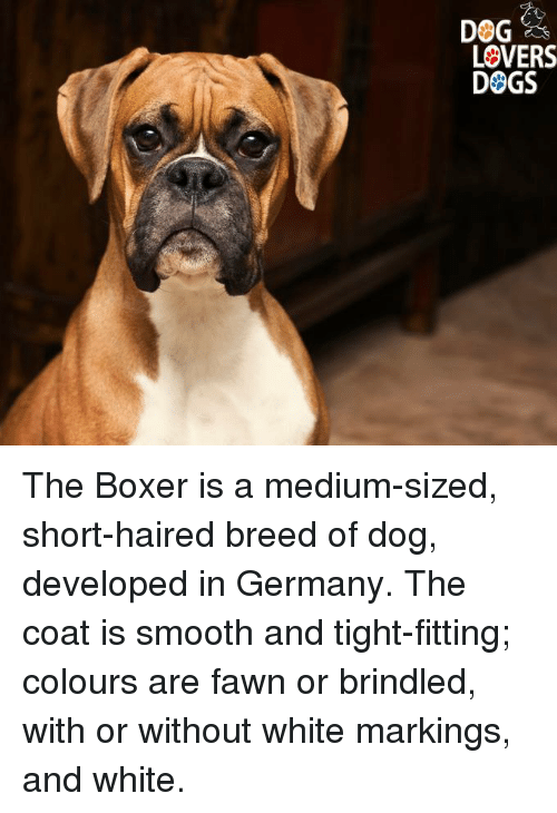 Dog Lovers Dogs The Boxer Is A Medium Sized Short Haired Breed Of
