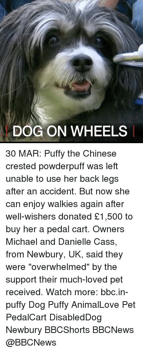 """Memes, Chinese, and Michael: DOG ON WHEELS 30 MAR: Puffy the Chinese crested powderpuff was left unable to use her back legs after an accident. But now she can enjoy walkies again after well-wishers donated £1,500 to buy her a pedal cart. Owners Michael and Danielle Cass, from Newbury, UK, said they were """"overwhelmed"""" by the support their much-loved pet received. Watch more: bbc.in-puffy Dog Puffy AnimalLove Pet PedalCart DisabledDog Newbury BBCShorts BBCNews @BBCNews"""