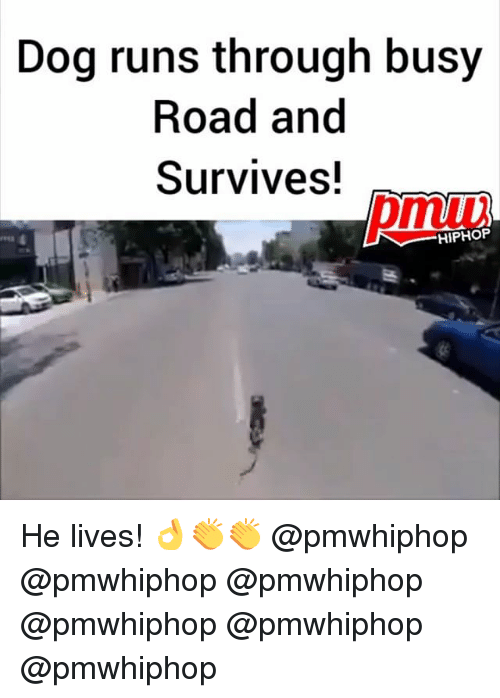 Memes, Hiphop, and 🤖: Dog runs through busy  Road and  Survives!  HIPHOP He lives! 👌👏👏 @pmwhiphop @pmwhiphop @pmwhiphop @pmwhiphop @pmwhiphop @pmwhiphop