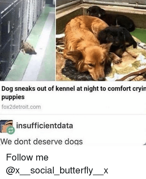 Dogs, Memes, and Puppies: Dog sneaks out of kennel at night to comfort cryin  puppies  fox2detroit.com  insufficientdata  We dont deserve dogs Follow me @x__social_butterfly__x