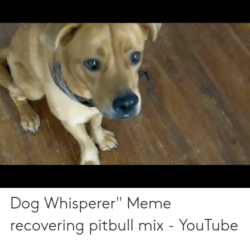 Dog Whisperer Meme Recovering Pitbull Mix - YouTube | Meme on ME ME