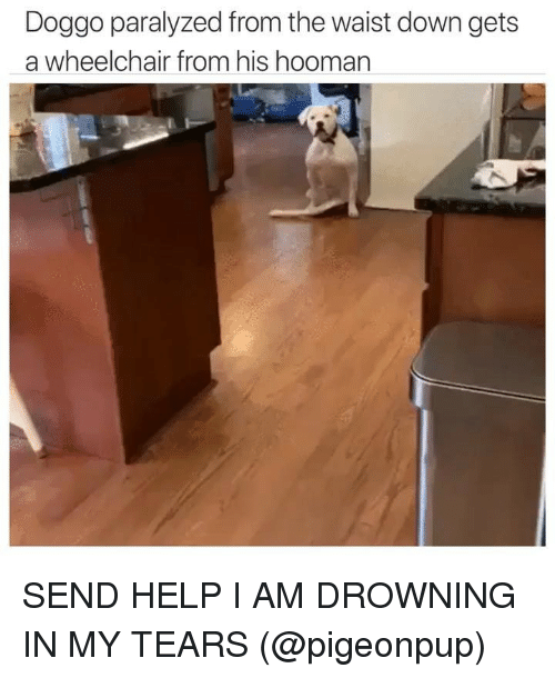 Funny, Help, and Doggo: Doggo paralyzed from the waist down gets  a wheelchair from his hooman SEND HELP I AM DROWNING IN MY TEARS (@pigeonpup)