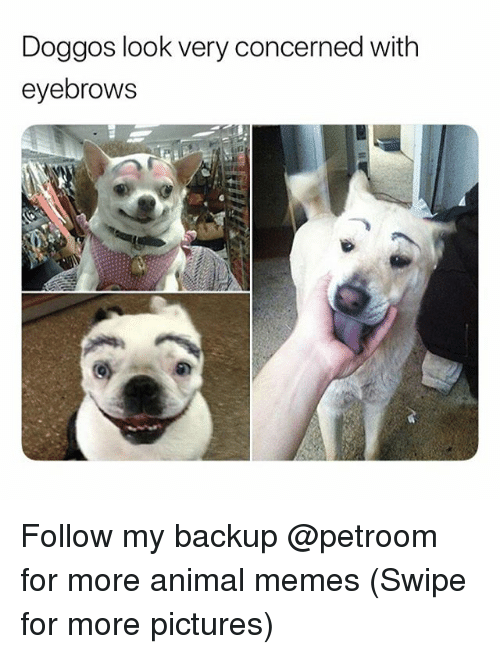Funny, Memes, and Animal: Doggos look very concerned with  eyebrows Follow my backup @petroom for more animal memes (Swipe for more pictures)