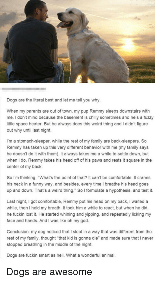 """Comfortable, Dogs, and Family: Dogs are the literal best and let me tell you why  When my parents are out of town, my pup Remmy sleeps downstairs with  me. I don't mind because the basement is chilly sometimes and he's a fuzzy  little space heater. But he always does this weird thing and I didn't figure  out why until last night.  I'm a stomach-sleeper, while the rest of my family are back-sleepers. So  Remmy has taken up this very different behavior with me (my family says  he doesn't do it with them). It always takes me a while to settle down, but  when I do, Remmy takes his head off of his paws and rests it square in the  center of my back.  So I'm thinking, """"What's the point of that? It can't be comfortable. It cranes  his neck in a funny way, and besides, every time I breathe his head goes  up and down. That's a weird thing."""" So I formulate a hypothesis, and test it.  Last night, I got comfortable, Remmy put his head on my back, I waited a  while, then I held my breath. It took him a while to react, but when he did,  he fuckin lost it. He started whining and yipping, and repeatedly licking my  face and hands. And I was like oh my god.  Conclusion: my dog noticed that I slept in a way that was different from the  rest of my family, thought """"that kid is gonna die"""" and made sure that I never  stopped breathing in the middle of the night.  Dogs are fuckin smart as hell. What a wonderful animal. <p>Dogs are awesome</p>"""