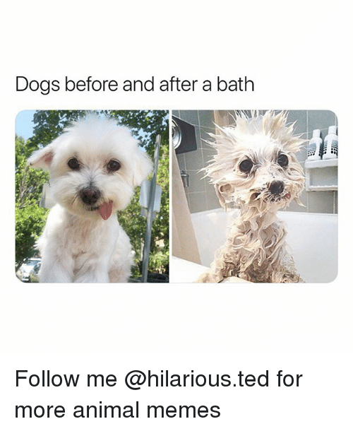 Dogs, Funny, and Memes: Dogs before and after a bath Follow me @hilarious.ted for more animal memes