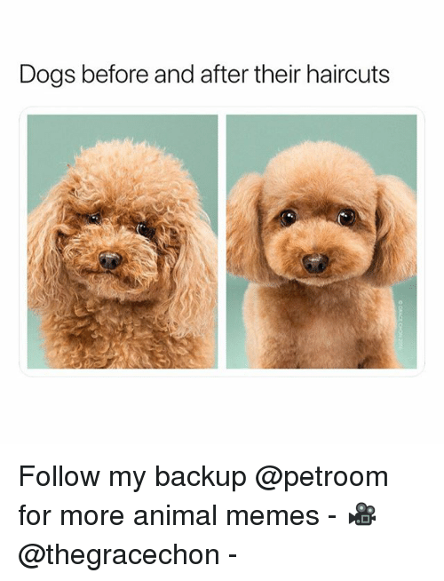 Dogs, Funny, and Memes: Dogs before and after their haircuts Follow my backup @petroom for more animal memes - 🎥 @thegracechon -