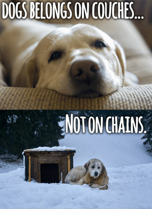 Dogs, Memes, and 🤖: DOGS BELONGS ON COUCHES  NOTON CHAINS