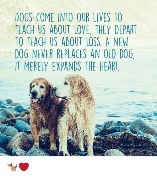 Dogs, Love, and Memes: DOGS COME INTO OUR LIVES TO  TEACH US ABOUT LOVE, THEY DEPART  TO TEACH US ABOUT LOSS. A NEW  D0G NEVER REPLACES AN OLD DOG  IT MERELY EXPANDS THE HEART 🐕❤️