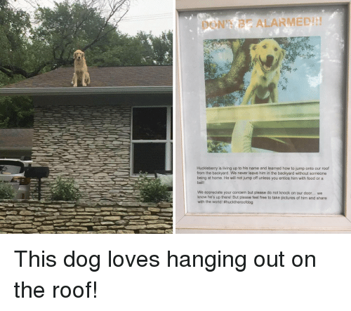 Food, Appreciate, and Free: DON'T BE ALARMED!  Huckleberry is living up to his name and learned how to jump onto our roof  from the backyard. We never leave him in the backyard without someone  being at home. He will not jump off unless you entice him with food or a  ball!  We appreciate your concern but please do not knock on our door... we  know he's up there! But please feel free to take pictures of him and share  with the world!