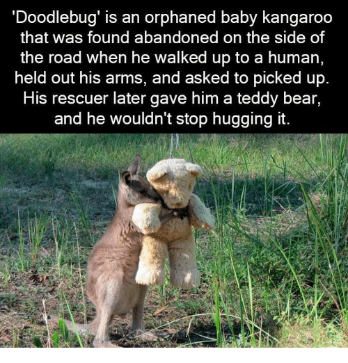 Bear, The Road, and Baby: Doodlebug' is an orphaned baby kangaroo  that was found abandoned on the side of  the road when he walked up to a human,  held out his arms, and asked to picked up  HiS rescuer later gave him a teddy bear,  and he wouldn't stop hugging it.