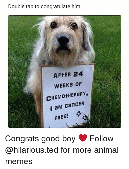 Funny, Memes, and Ted: Double tap to congratulate him  AFTER 24  WEEKS OF  CHEMotHERapy,  I aM CanCER  FREE! Congrats good boy ❤ Follow @hilarious.ted for more animal memes