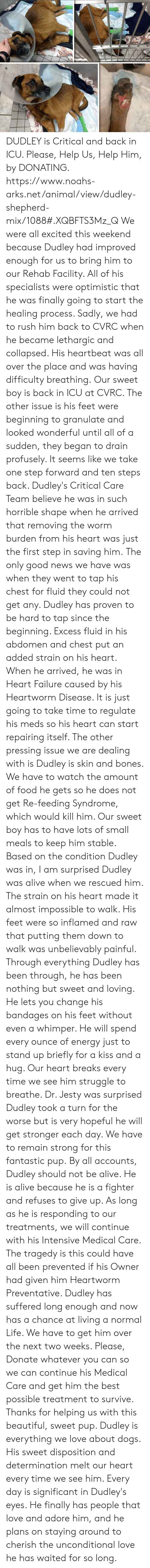 Alive, Beautiful, and Bones: DUDLEY is Critical and back in ICU.  Please, Help Us, Help Him, by DONATING.  https://www.noahs-arks.net/animal/view/dudley-shepherd-mix/1088#.XQBFTS3Mz_Q  We were all excited this weekend because Dudley had improved enough for us to bring him to our Rehab Facility.  All of his specialists were optimistic that he was finally going to start the healing process.  Sadly, we had to rush him back to CVRC when he became lethargic and collapsed.  His heartbeat was all over the place and was having difficulty breathing.   Our sweet boy is back in ICU at CVRC.   The other issue is his feet were beginning to granulate and looked wonderful until all of a sudden, they began to drain profusely.   It seems like we take one step forward and ten steps back.  Dudley's Critical Care Team believe he was in such horrible shape when he arrived that removing the worm burden from his heart was just the first step in saving him.   The only good news we have was when they went to tap his chest for fluid they could not get any.   Dudley has proven to be hard to tap since the beginning.  Excess fluid in his abdomen and chest put an added strain on his heart.   When he arrived, he was in Heart Failure caused by his Heartworm Disease.  It is just going to take time to regulate his meds so his heart can start repairing itself.     The other pressing issue we are dealing with is Dudley is skin and bones.  We have to watch the amount of food he gets so he does not get Re-feeding Syndrome, which would kill him.  Our sweet boy has to have lots of small meals to keep him stable.    Based on the condition Dudley was in, I am surprised Dudley was alive when we rescued him.  The strain on his heart made it almost impossible to walk.  His feet were so inflamed and raw that putting them down to walk was unbelievably painful.     Through everything Dudley has been through, he has been nothing but sweet and loving.   He lets you change his bandages on his feet without even a whi