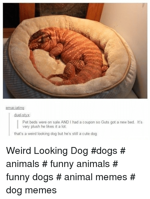 Animals, Cute, and Dogs: duel-styx  Pet beds were on sale AND I had a coupon so Guts got a new bed. It's  very plush he likes it a lot.  that's a weird looking dog but he's still a cute dog Weird Looking Dog  #dogs # animals # funny animals # funny dogs # animal memes # dog memes