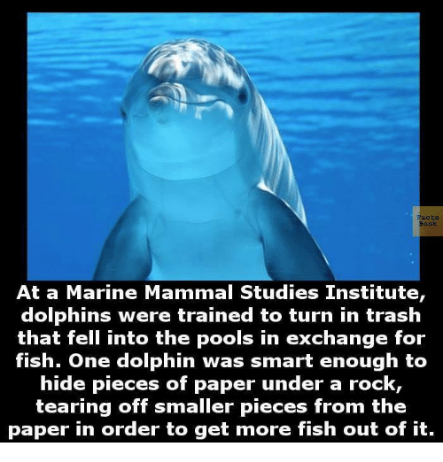 Memes, Trash, and Dolphin: E acts  At a Marine Mammal Studies Institute  dolphins were trained to turn in trash  that fell into the pools in exchange for  fish. One dolphin was smart enough to  hide pieces of paper under a rock,  tearing off smaller pieces from the  paper in order to get more fish out of it