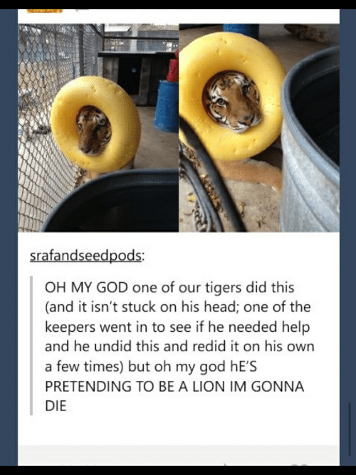 God, Head, and Oh My God: e9  srafandseedpods:  OH MY GOD one of our tigers did this  (and it isn't stuck on his head; one of the  keepers went in to see if he needed help  and he undid this and redid it on his owrn  a few times) but oh my god hE'S  PRETENDING TO BE A LION IM GONNA  DIE