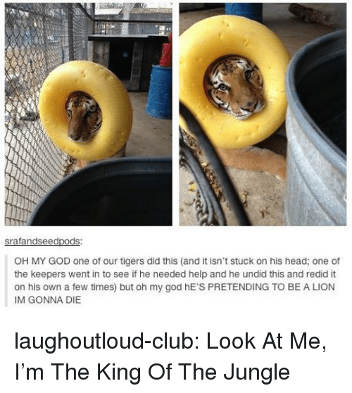 Club, God, and Head: ed  OH MY GOD one of our tigers did this (and it isn't stuck on his head; one of  the keepers went in to see if he needed help and he undid this and redid it  on his own a few times) but oh my god hE'S PRETENDING TO BE A LION  IM GONNA DIE laughoutloud-club:  Look At Me, I'm The King Of The Jungle