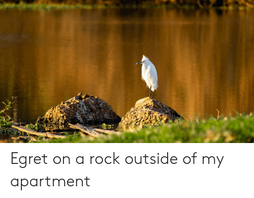 Rock, Outside, and  Apartment: Egret on a rock outside of my apartment