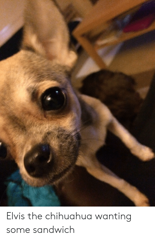 Elvis The Chihuahua Wanting Some Sandwich Chihuahua Meme On Me Me
