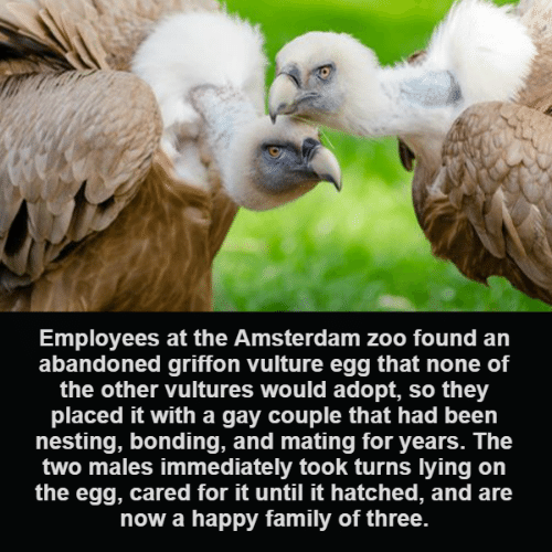Family, Memes, and Amsterdam: Employees at the Amsterdam zoo found an  abandoned griffon vulture egg that none of  the other vultures would adopt, so they  placed it with a gay couple that had been  nesting, bonding, and mating for years. The  two males immediately took turns lying on  the egg, cared for it until it hatched, and are  now a happy family of three