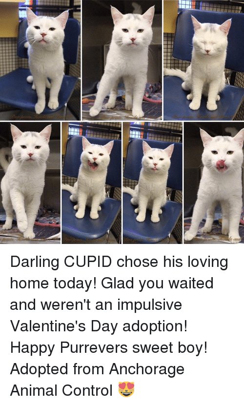 Memes, Valentine's Day, and Control: ETTiin Darling CUPID chose his loving home today! Glad you waited and weren't an impulsive Valentine's Day adoption! Happy Purrevers sweet boy! Adopted from Anchorage Animal Control 😻