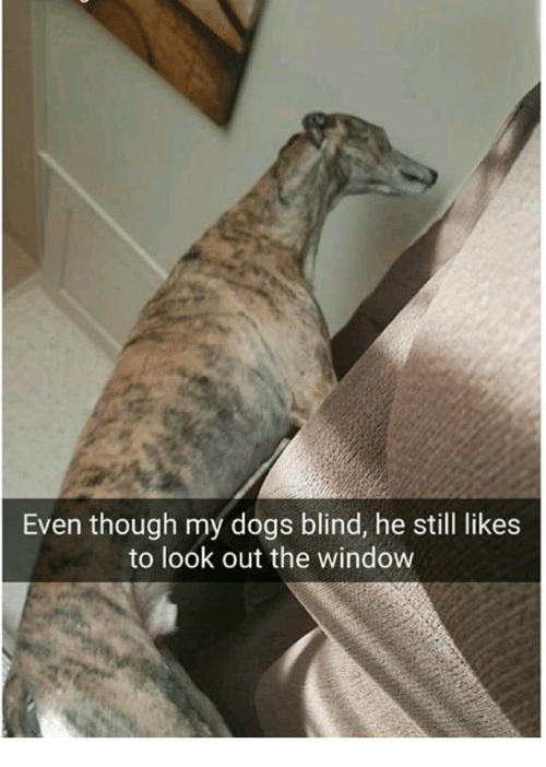 even though my dogs blind he still likes to look 18500116 even though my dogs blind he still likes to look out the window