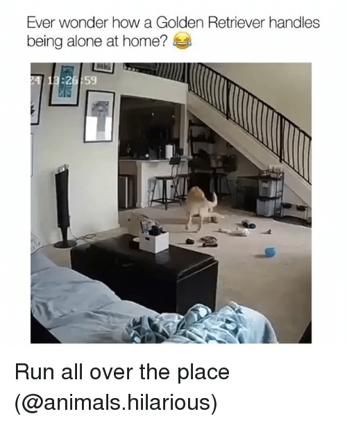Being Alone, Animals, and Funny: Ever wonder how a Golden Retriever handles  being alone at home?  26:59 Run all over the place (@animals.hilarious)
