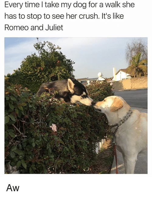 Crush, Memes, and Romeo and Juliet: Every time l take my dog for a walk she  has to stop to see her crush. It's like  Romeo and Juliet Aw