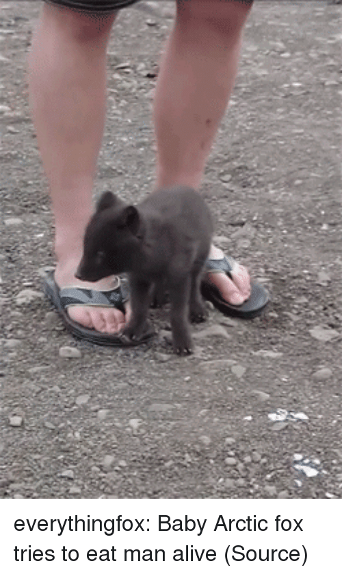 Alive, Target, and Tumblr: everythingfox:   Baby Arctic fox tries to eat man alive (Source)