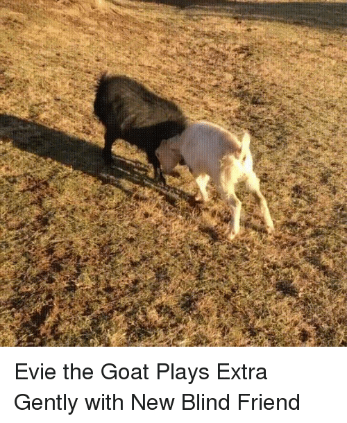 Goat, Friend, and Goats: Evie the Goat Plays Extra Gently with New Blind Friend