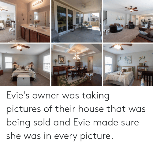 House, Pictures, and She: Evie's owner was taking pictures of their house that was being sold and Evie made sure she was in every picture.