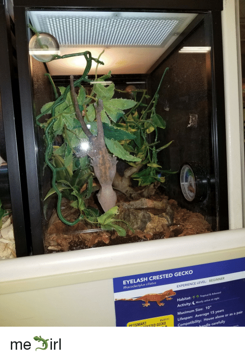 Being Alone, House, And Petsmart: EYELASH CRESTED GECKO Ciliatus LEVEL:  BEGINNER EXPERIENCE