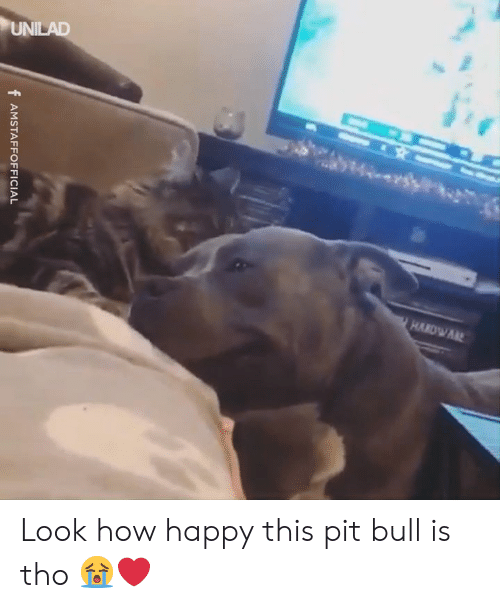 Dank, Happy, and 🤖: f AMSTAFFOFFICIAL Look how happy this pit bull is tho 😭❤️️