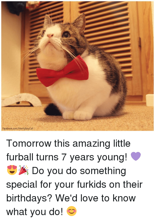 Birthday, Memes, and What You Doing: Facebook.com/MontyBoyCat Tomorrow this amazing little furball turns 7 years young! 💜😍🎉 Do you do something special for your furkids on their birthdays? We'd love to know what you do! 😊