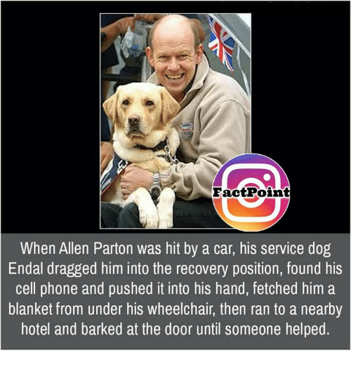 Memes, Hotel, and 🤖: Fact Point  When Allen Parton was hit by a car, his service dog  Endal dragged him into the recovery position, found his  cell phone and pushed it into his hand, fetched him a  blanket from under his wheelchair, then ran to a nearby  hotel and barked at the door until someone helped.