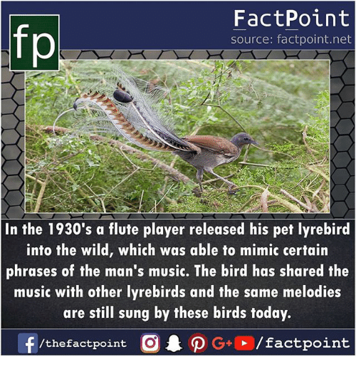 Memes, Music, and Birds: FactPoint  source: factpoint.net  In the 1930's a flute player released his pet lyrebircd  into the wild, which was able to mimic certain  phrases of the man's music. The bird has shared the  music with other lyrebirds and the same melodies  are still sung by these birds today.  f/thefactpoint O P  G+/factpoint