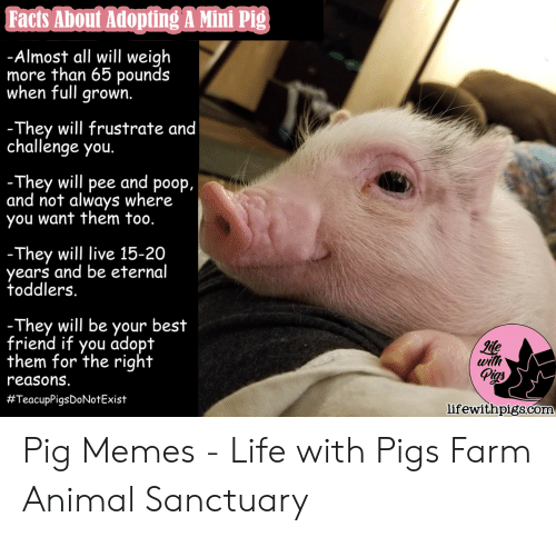 Facts About Adopting a Mini Pig -Almost All Will Weigh More