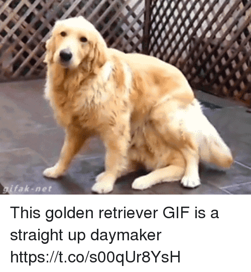 Fak-Net This Golden Retriever GIF Is A Straight Up