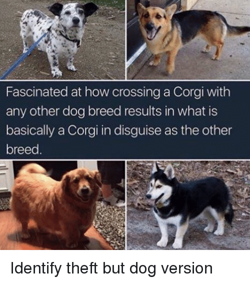 Corgi, What Is, and How: Fascinated at how crossing a Corgi with  any other dog breed results in what is  basically a Corgi in disguise as the other  breed Identify theft but dog version