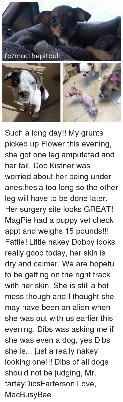 Memes, Puppies, and Pitbull: fb/macthe pitbull Such a long day!! My grunts picked up Flower this evening, she got one leg amputated and her tail. Doc Kistner was worried about her being under anesthesia too long so the other leg will have to be done later. Her surgery site looks GREAT! MagPie had a puppy vet check appt and weighs 15 pounds!!! Fattie! Little nakey Dobby looks really good today, her skin is dry and calmer. We are hopeful to be getting on the right track with her skin. She is still a hot mess though and I thought she may have been an alien when she was out with us earlier this evening. Dibs was asking me if she was even a dog, yes Dibs she is... just a really nakey looking one!!! Dibs of all dogs should not be judging, Mr. farteyDibsFarterson   Love, MacBusyBee