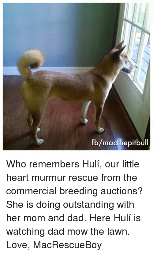 Dad, Love, and Memes: fb/macthe pitbull Who remembers Hulí, our little heart murmur rescue from the commercial breeding auctions? She is doing outstanding with her mom and dad. Here Hulí is watching dad mow the lawn.   Love, MacRescueBoy