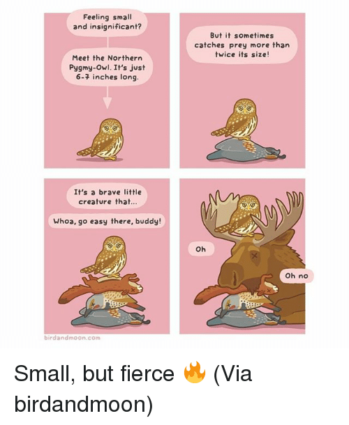Memes, Brave, and Moon: Feeling small  and insignificant?  Meet the Northern  Pygmy-owl. It's just  6-7 inches long.  It's a brave little  creature that.  Whoa, go easy there, buddy!  bird and moon.com  But it sometimes  catches prey more than  twice its size!  Oh  Oh no Small, but fierce 🔥 (Via birdandmoon)